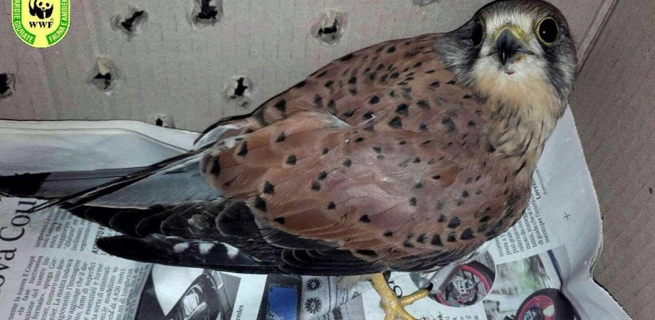 Falco ferito salvato a Niscemi dalle guardie ambientali del Wwf: l'animale soccorso da due gelesi